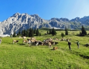 Hochfeldernalm 2013 – Vieh-Auftrieb ins Felderer Tal