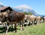 almabtrieb-2015_hochfeldernalm (27 von 332)