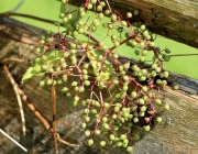Blüten und Früchte im Spätsommer - Mit den Wildbienen auf Nektarsuche