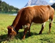 Qualitätsfleisch aus Mieming – Christian Maurer züchtet Pinzgauer Mutterkühe
