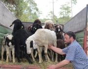 """Schafbadetag in Obermieming – """"Zum Schutz von Schafen, Lämmern, Ziegen"""""""