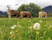 Mai-Regen beim Auftrieb zum Vorberg der Feldernalm