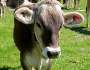 Vorberg der Feldereralpe - der Kälberhag in Obermieming