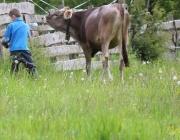 Zäunen am Kälberriegl in Obermieming – Zum Schutz des Weideviehs am Vorberg der Feldernalm