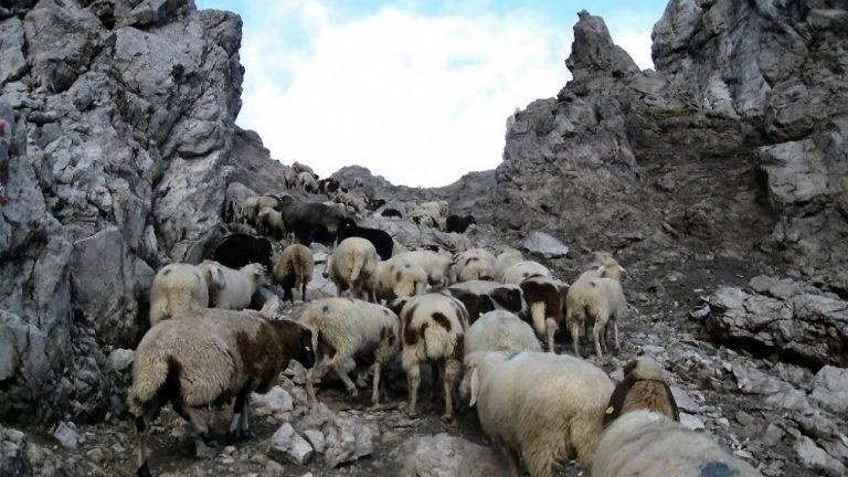 Schafe auf ihrem Weg über die Grünsteinscharte, Foto: Tscheggenschafverein