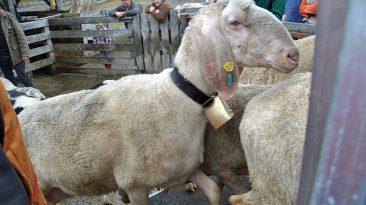 Schafe, Ziegen und Lämmer werden mit Sebacil gegen die Schafsräude und andere Krankheiten desinfiziert. Foto: Michaela Maurer