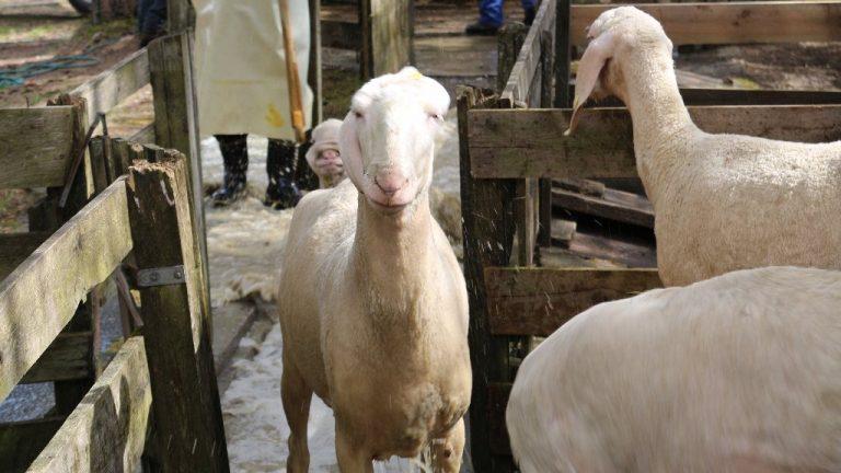 Schafbad in Obermieming - Schafe, Ziegen und Lämmer gehen geschützt auf ihre Sommeralmen. Foto: Knut Kuckel