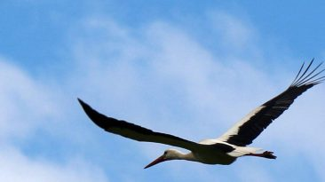 Weißstorch über dem Mieminger Moos, Foto: Knut Kuckel
