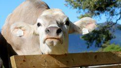 """Die Bauern sind einer Meinung - sie sagen """"Ja, die Kuh hat Charakter"""", Foto: Knut Kuckel"""