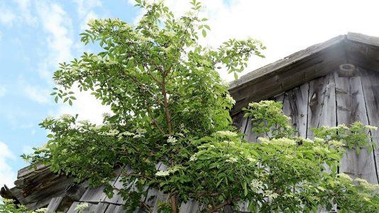 Überall blüht jetzt der Holunder am Sonnenplateau Mieming, Foto: Knut Kuckel