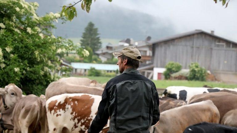 Mit dem Almviehtransporter auf die Feldernalpe, Foto: Knut Kuckel