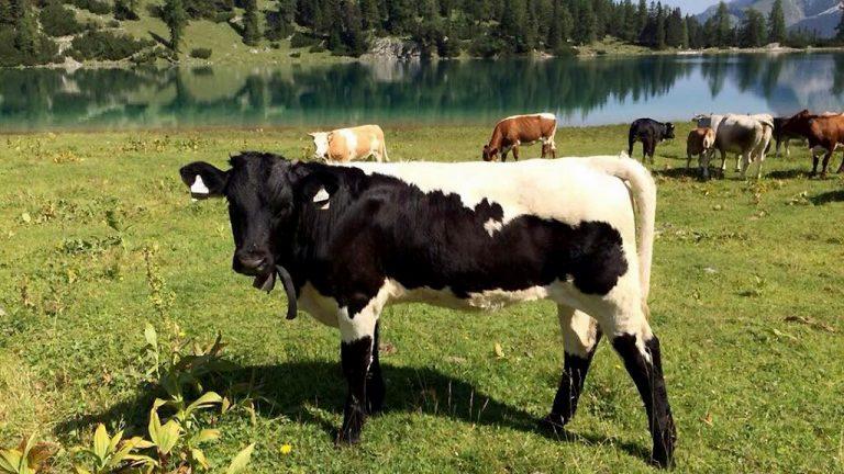 Im Sommer weiden Christian Maurers Pinzgauer Rinder am Seebensee, Foto: Christian Maurer