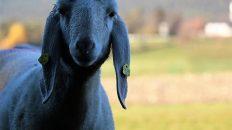 Im Herbst werden Schafe und Ziegen noch einmal gebadet, Foto: Michaela Maurer