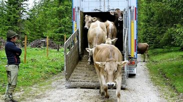 """""""Gummistiefelwetter"""" beim Viehauftrieb von Obermieming zur Feldereralpe, Foto: Andreas Fischer"""