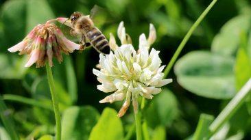 Mit den Wildbienen auf Nektarsuche, Foto: Knut Kuckel