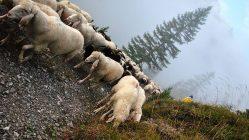 """""""Die Schafe machten alles in allem noch einen guten Eindruck"""", meinte ein Beobachter. Fotos: Martin Krug/Michaela Maurer"""
