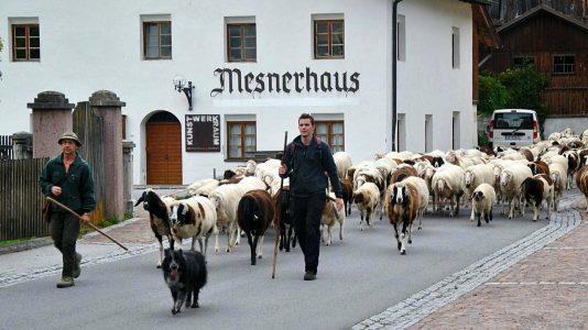 Schafschoad Seeben Alm - Untermieming, Foto: Mieming.online
