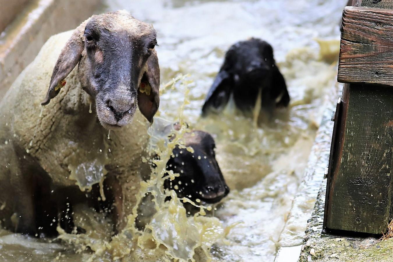 Das Schafbad schützt Schafe und Ziegen vor Klauenseuche und anderen Krankheiten. Foto: Knut Kuckel