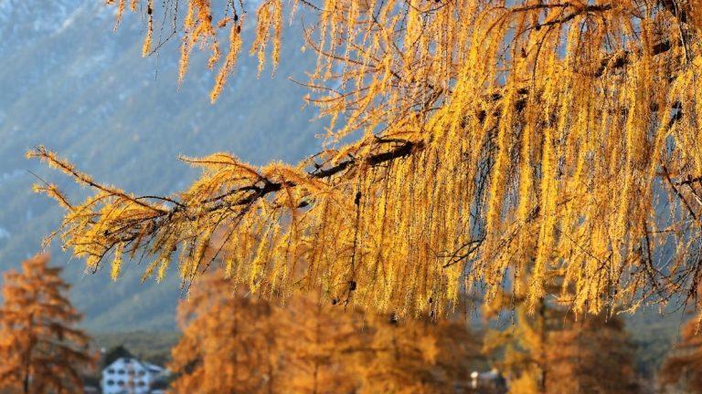 Gold-Lärchen verzaubern den Blick auf Mieming im späten Herbst. Foto: Knut Kuckel